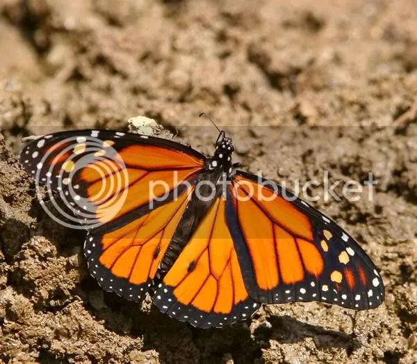 Monarch photo bf3.jpg