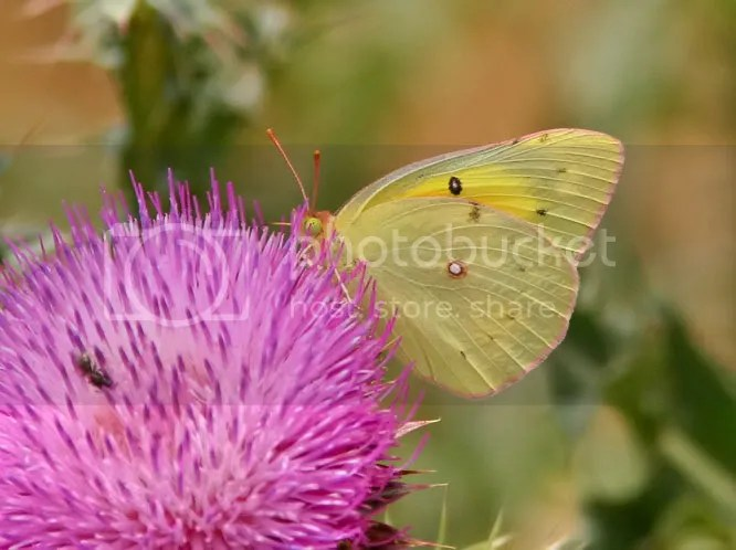 Orange Sulphur photo bf6.jpg