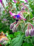 close up of the weird 2 tone borage