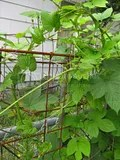hops growing on old box springs