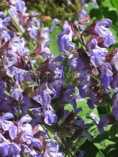 blooming sage. It has taken over the lavender plant that grows next to it.