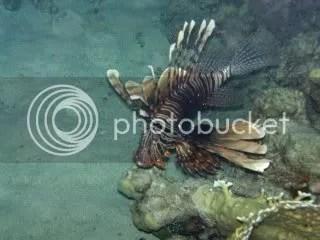 koraal duivel
