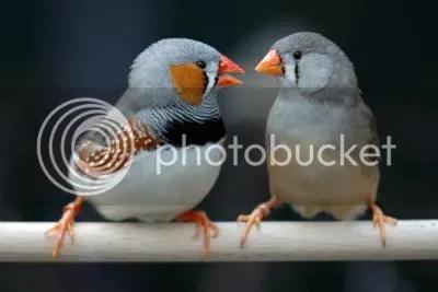 Male & Female Zebra Finches