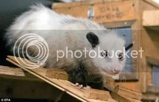 Heidi, the Opossum