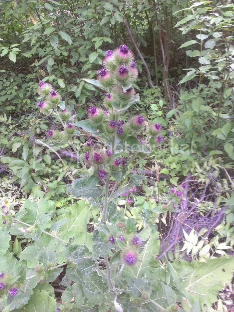 Thistles: pokey and pretty
