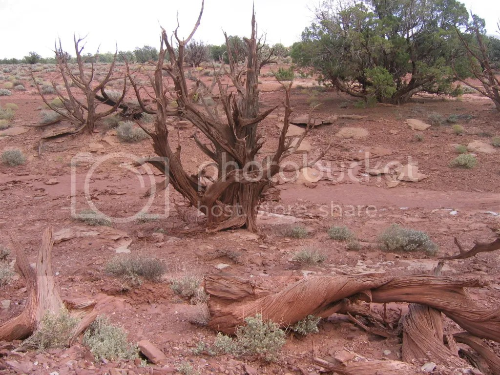 Desert Cedars
