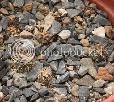 Gymnocalycium mesopotamicum