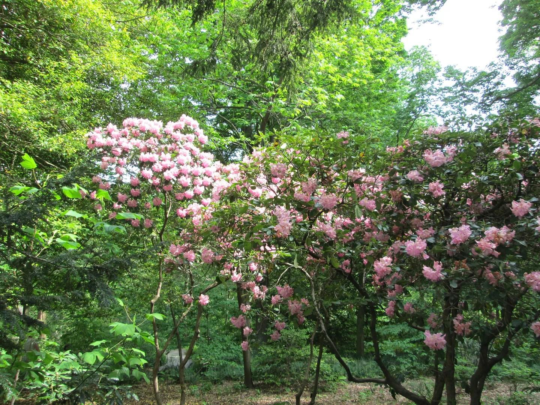 pink azalea glen