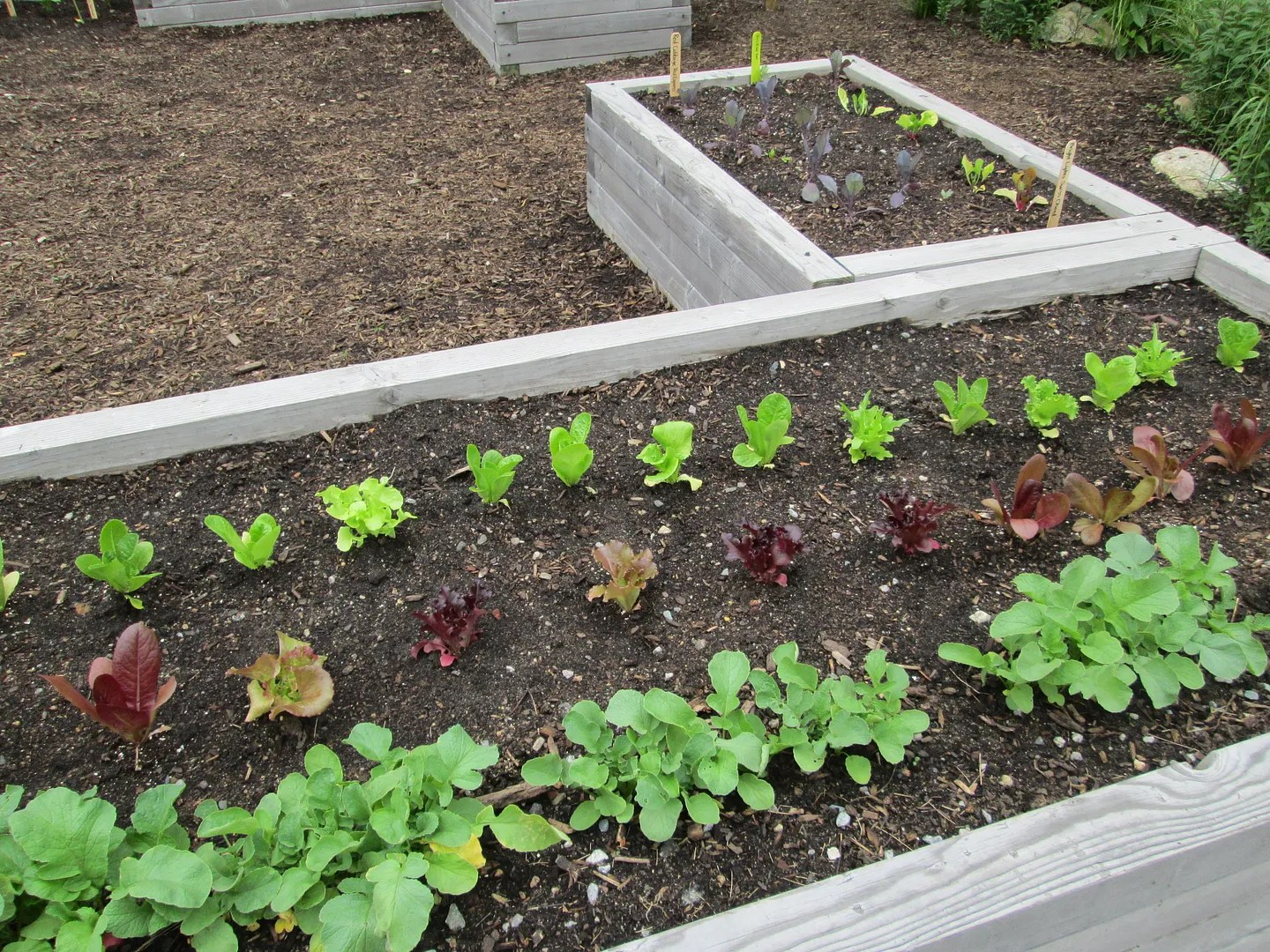 food garden in dewey square with raised beds growing lettuce and other green vegetables