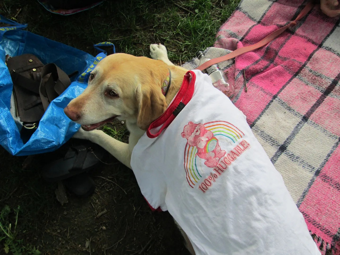 yellow lab dog wearing care bears rainbow shirt