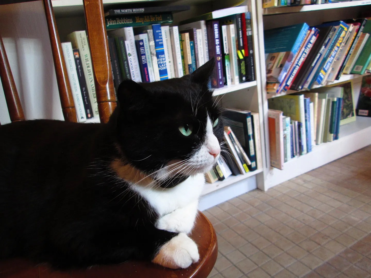 boswell cat sitting on chair near bookshelf