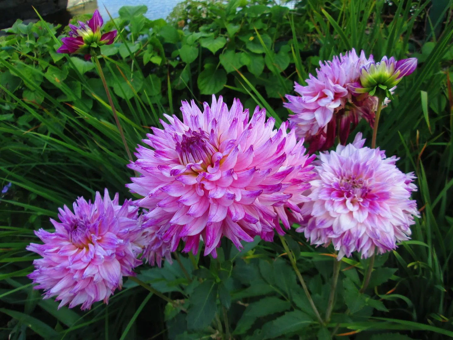 pinkish purple dahlias
