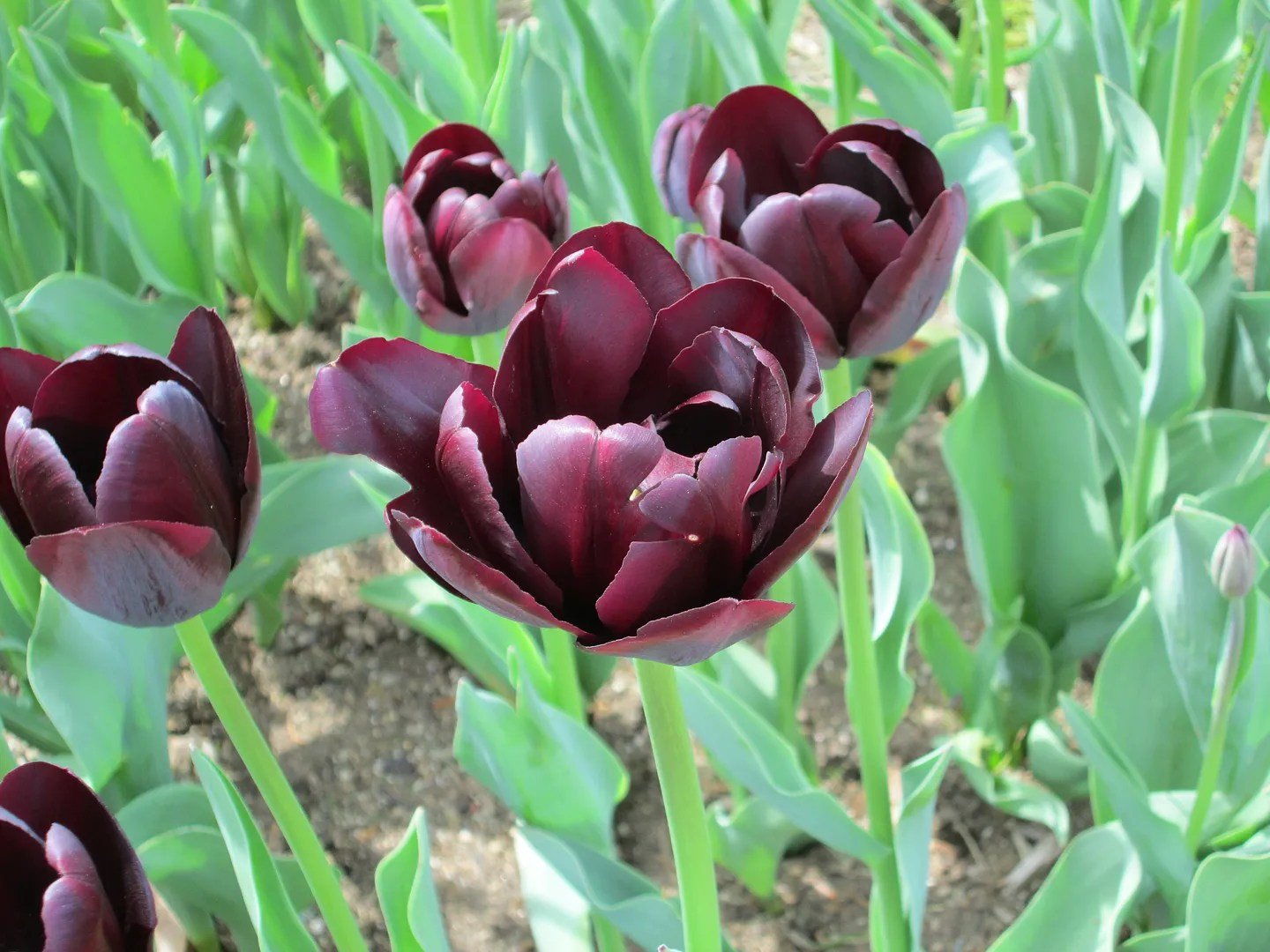 close-up of maroon dark purple tulips