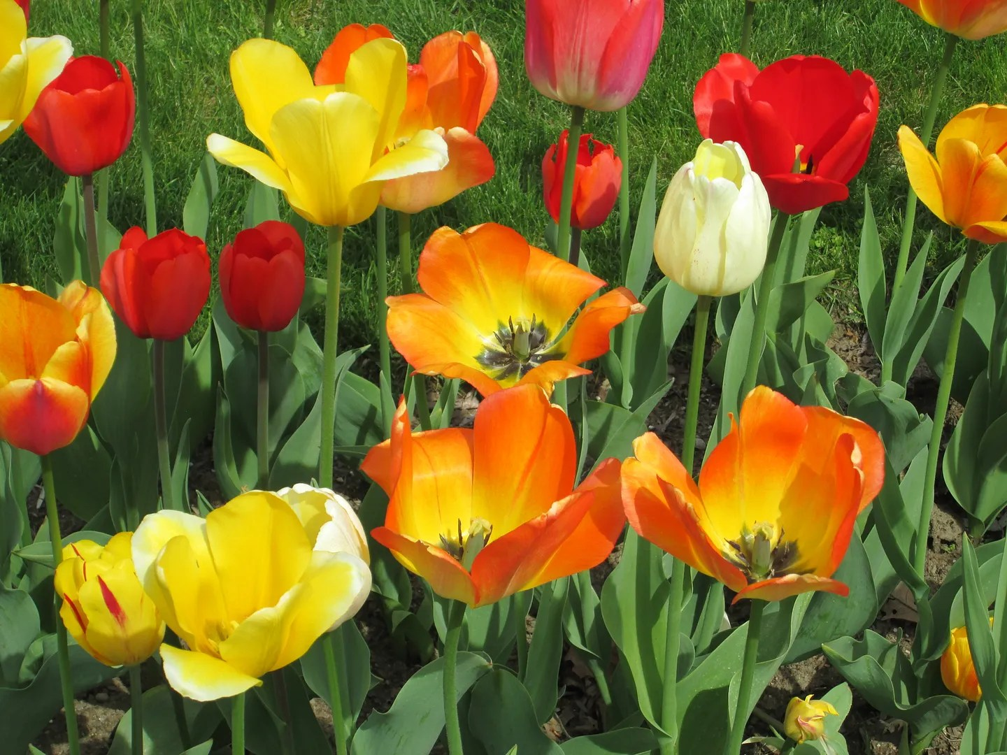 red, orange, and yellow tulips