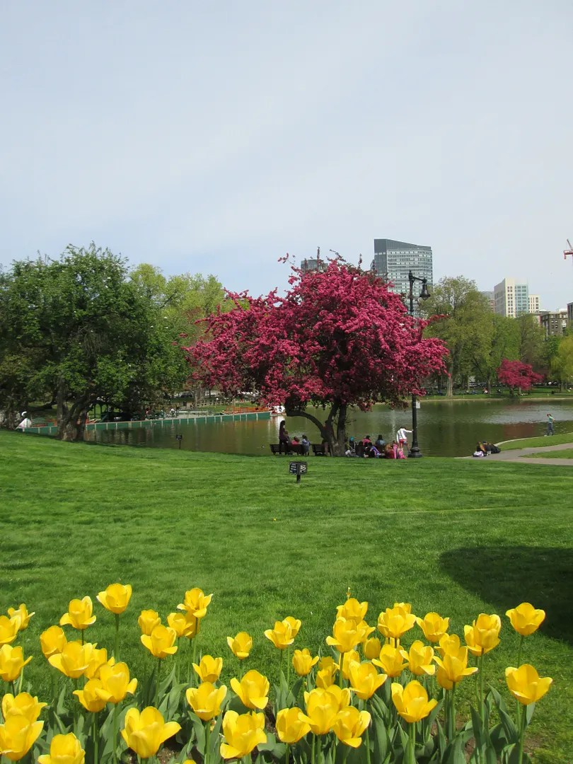 yellow tulips and pink cherry tree in the boston public garden