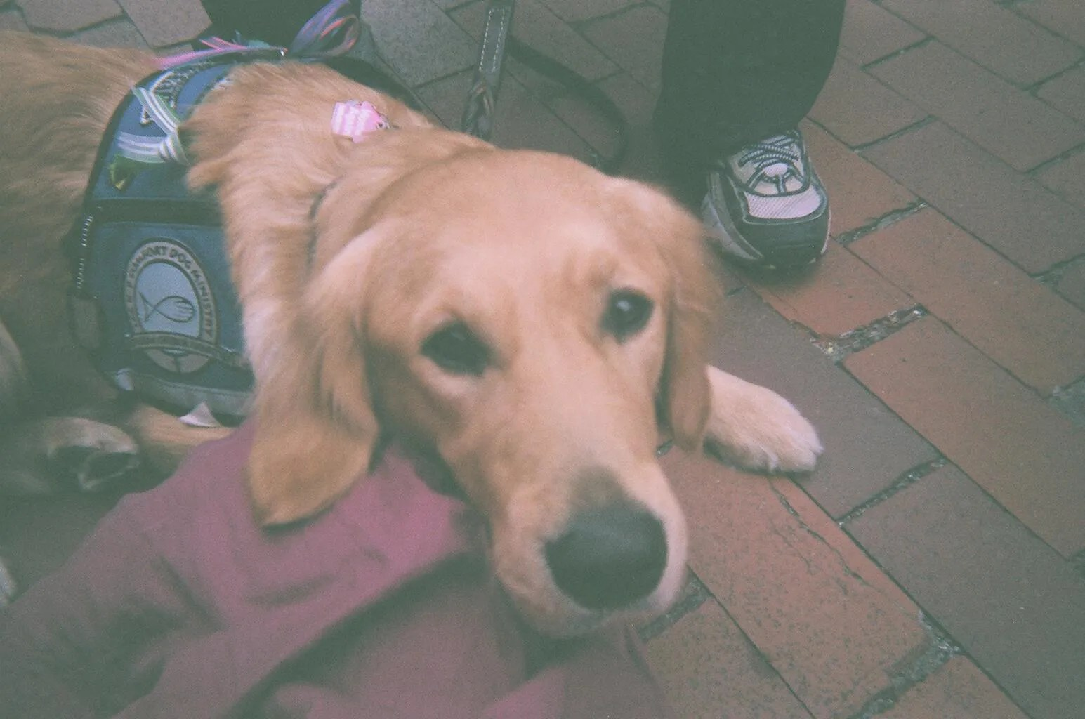 golden retriever with big brown eyes staring into the camera