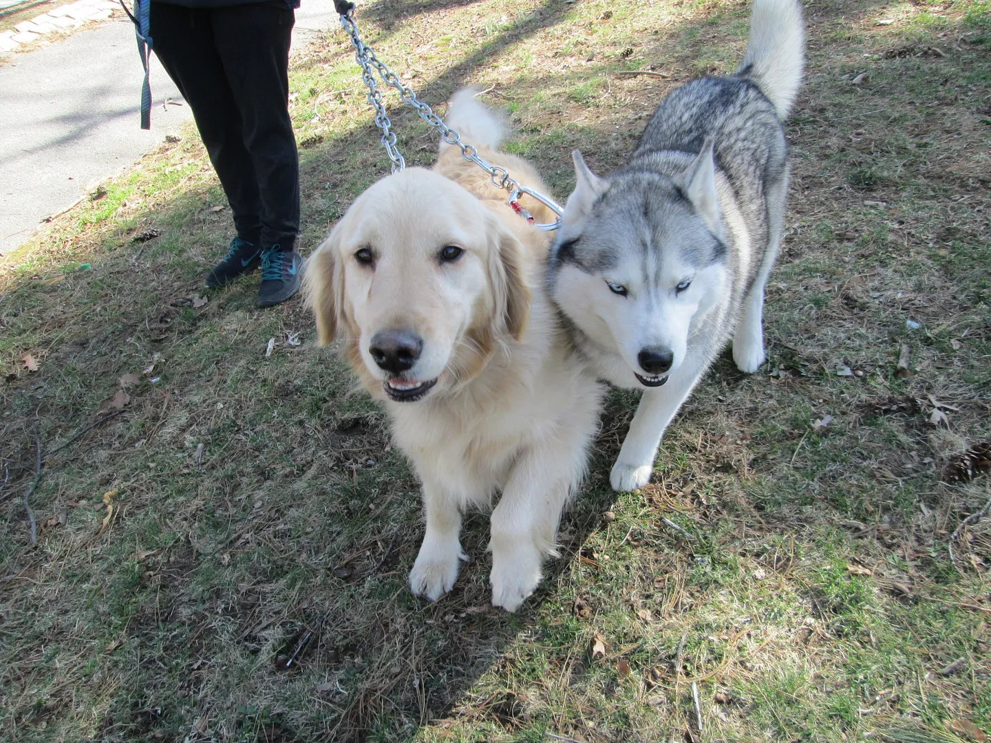 golden retriever and husky