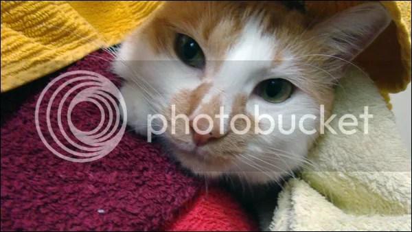 Alfons sous une pile de serviettes propres.