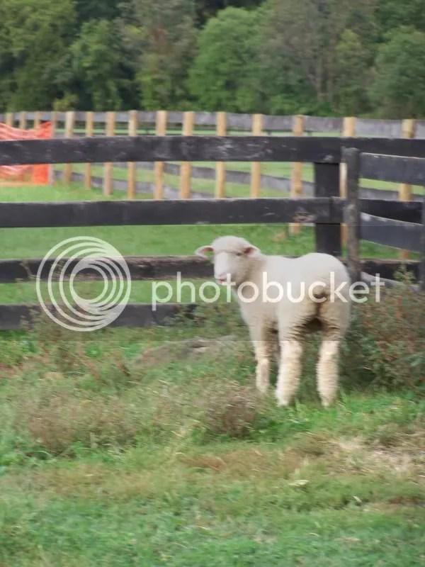 Young Dorset Ewe