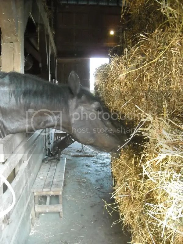 one of our horses munching on the freshly bailed straw before it went up in the loft