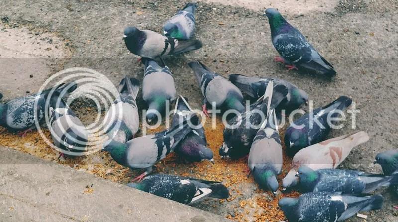 photo pigeons.jpg
