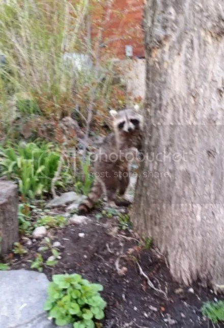 Daytime Raccoon Buddy