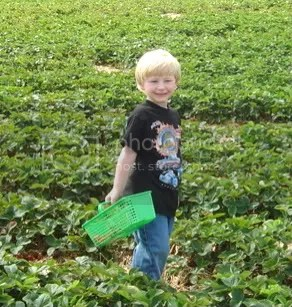 Alex surrounded by a sea of strawberries.  He really enjoyed picking the fruits, and counted them one-by-one as he put them in his basket.