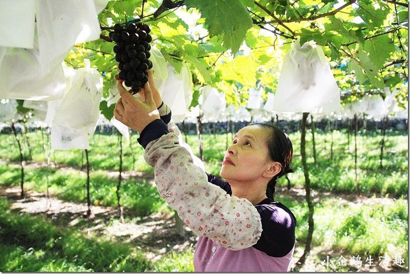 苗栗‧卓蘭二日遊。景點|【白布帆農場】來苗栗不只採草莓 還可以採葡萄/楊桃 一起採果趣