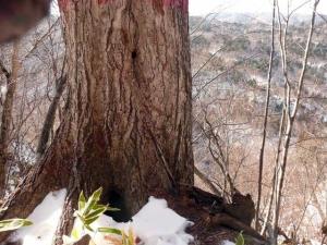 ミズナラの大木にあるエゾモモンガの巣穴