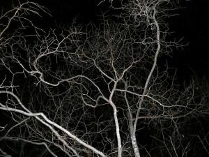夜の森 桑の木