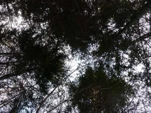 針葉樹の森から空を仰ぐ
