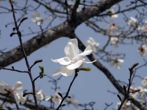 上向きに咲くコブシの花