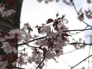 エゾヤマザクラの花、葉っぱも同時に出ている