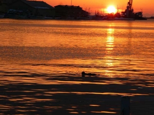 世界三大夕陽に浮かぶ釧路川のラッコ