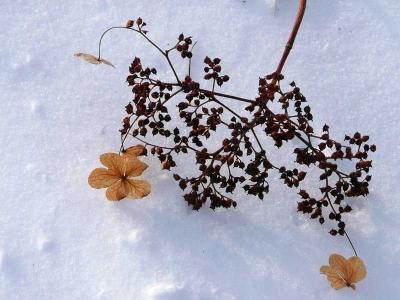 雪の中にあったサビタの花