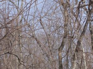 冬のエゾライチョウ