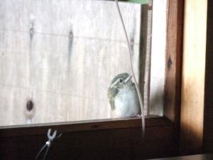 野鳥の雛、キバシリ