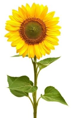 Wandtattoo Sonnenblumen  Pixers  Wir leben um zu verndern