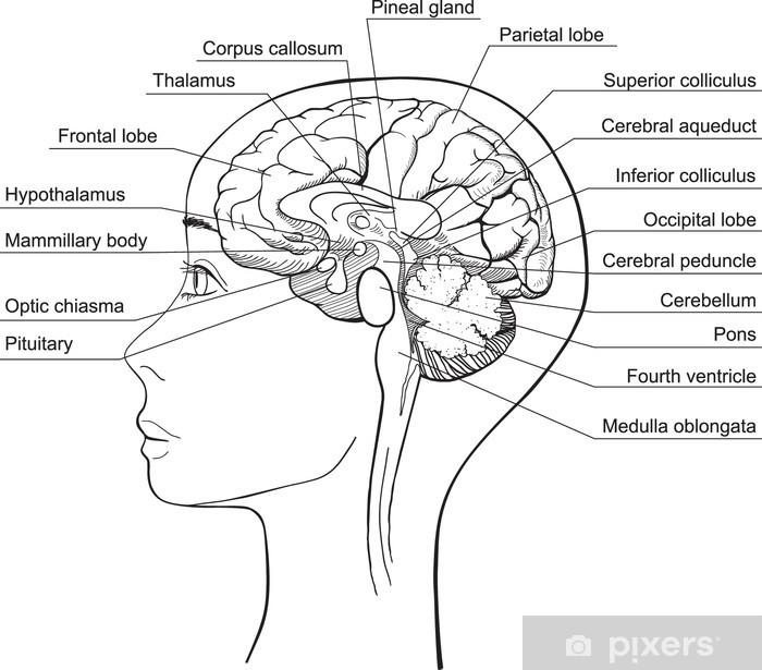 Midsagittal Section of the Human Brain, vector Wall Mural