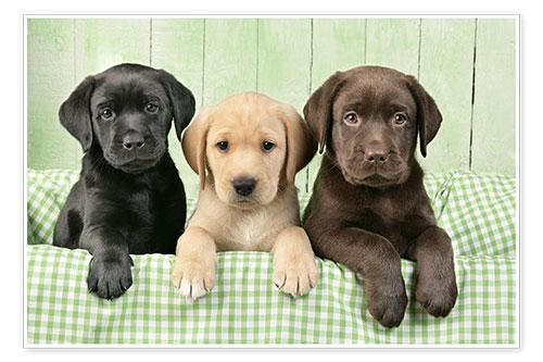 Labrador Welpen Poster Poster online bestellen  Posterloungede