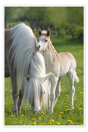 Katho Menden Haflinger Pferde Fohlen mit Stute Poster