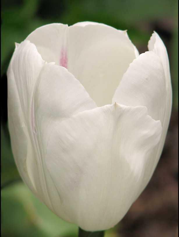Tulpen Uayt Flayt katalog sorten Tulpen Uayt Flayt  pflanzen vermehren behandlung und zucht