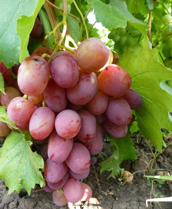 Один из лучших сортов со стабильным урожаем — виноград Юбилей Новочеркасска. Виноград юбилейный
