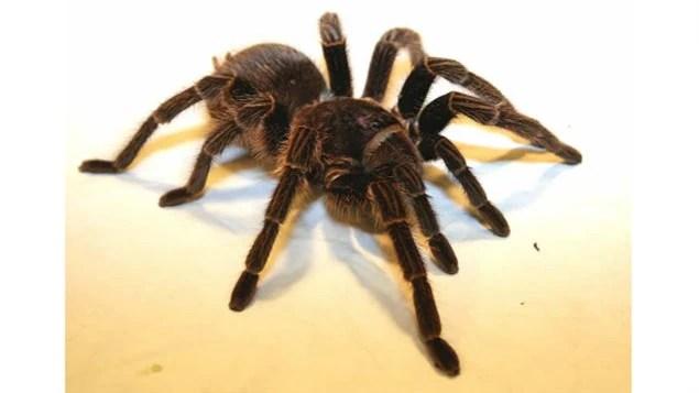 La Phormictopus cancerides fait partie des grandes araignées que l'on retrouve en République dominicaine.