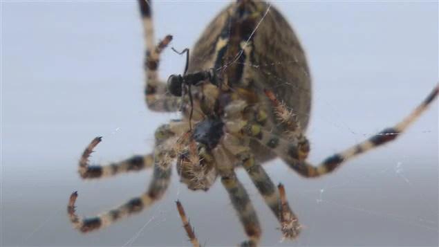 Les proies étaient nombreuses pour les araignées ce printemps.