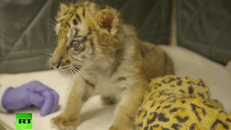 Rescued Bengal tiger cub given new home in San Diego zoo VIDEO  RT America