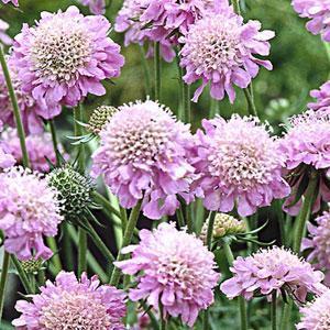 迎曦花園2016年進口種子♡松蟲草-粉紅寶石 10顆/75 - 露天拍賣