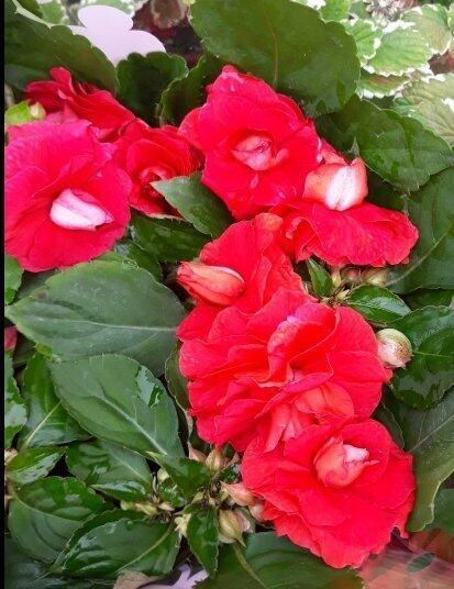 花花世界_季節花卉*重瓣鳳仙花(不挑色) *-玫瑰鳳仙花/5吋/高15-25cm/MA | 露天拍賣