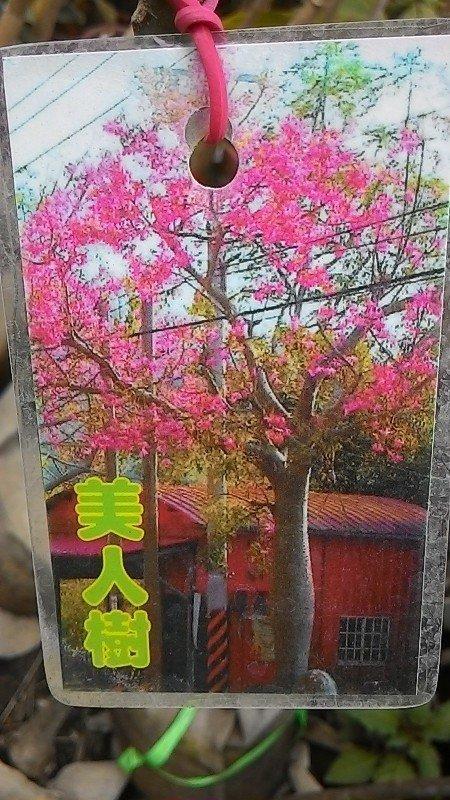 花田厝_喬木觀賞花卉—美人樹--落葉喬木~花一般為紫紅色/8吋高約50-100cm | 露天拍賣
