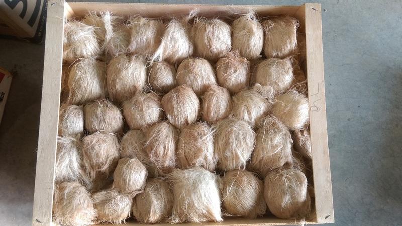 扇椰子帶髮乾燥種子一顆50元.適合收藏及手做用 - 露天拍賣